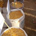Em Maceió, Santana e Palmeira, produtores adquirem mais de 3,3 milhões de quilos de milho para os animais
