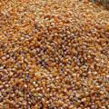 Produtores adquirem mais de 3,3 milhões de quilos de milho para os animais