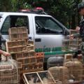 Polícia Ambiental apreende mais de 200 pássaros silvestres em Arapiraca