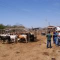 Produtores atendidos pelo Alagoas Mais Leite convivem melhor com a seca