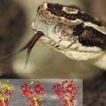 Trinta novas moléculas são descobertas em veneno de serpentes