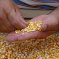 Seagri realiza cadastro do Programa de Distribuição de Sementes em AL