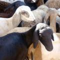 Programa Alagoas Mais Ovinos beneficia 800 famílias de agricultores