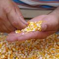 Governo entrega sementes em Pão de Açúcar, Traipu e Tanque D'Arca neste sábado