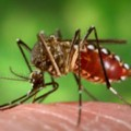 Vírus da dengue é mais estável do que se pensava