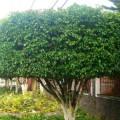 Serviço: Secretaria de Agricultura realiza poda em árvores de Santana do Ipanema