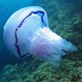 VIDEO: Água-viva gigante é vista em mares britânicos