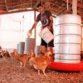 Programa de Avicultura Familiar nascido no Sertão de AL deve ser implantado na Paraíba