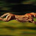 É realmente possível definir o animal mais rápido da Terra?
