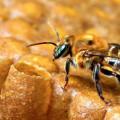 Seminário: Santana do Ipanema vai receber apicultores e meliponicultores para debate