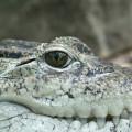 Governo da Indonésia sugere usar crocodilos para vigiar prisioneiros em ilha-prisão