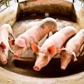 Ameaça de peste suína faz governo proibir entrada de porcos no estado
