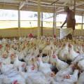 Em Santana, avicultores buscam investimento para baratear custos de produção