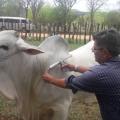 Prazo para declaração de vacinação de gado acaba dia 15 de dezembro