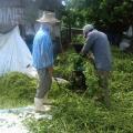 Mata-pasto é utilizado como alternativa para nutrição de rebanho no Sertão