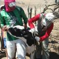 Emater inicia vacinação contra brucelose em municípios da Bacia Leiteira