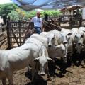 2ª etapa da campanha de vacinação contra aftosa deve imunizar 500 mil animais