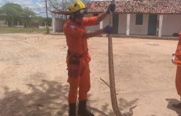 Cobra de 2,5 metros é capturada em Olho d'Água das Flores