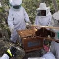 Bombeiros fazem parceria com Uneal para remanejamento de abelhas no Sertão