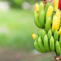 Rota da Fruticultura avança pelo interior do Ceará e de Alagoas