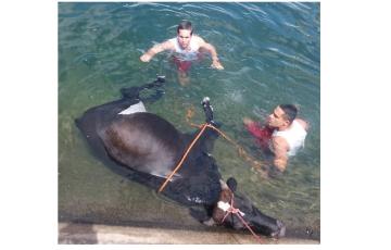 Bombeiros resgatam vaca que caiu no Canal do Sertão em Delmiro