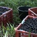 Palmeira dos Índios é destaque nacional na produção de vinho de jabuticaba