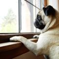 Pets adotados na pandemia podem ter estresse com mudanças na rotina